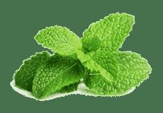 ментол Лекарственные растения, индия лекарственные растения
